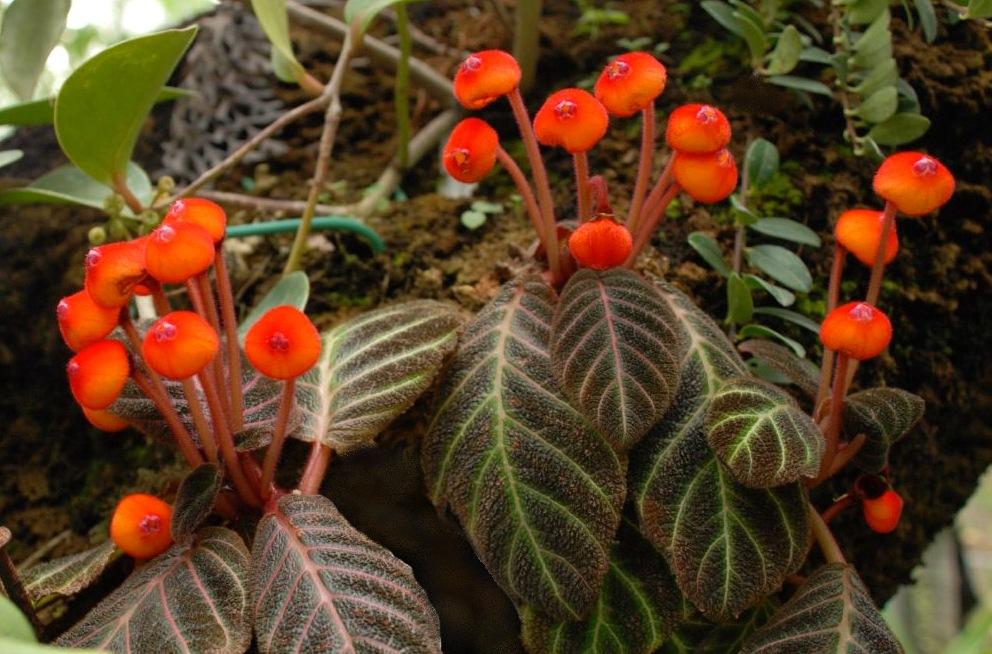 Pearcea hypocyrtiflora